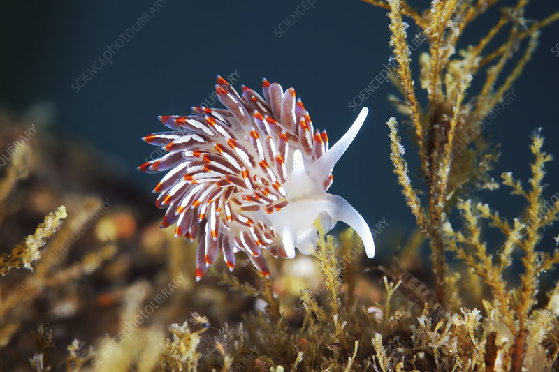 Cuthonella sea slug