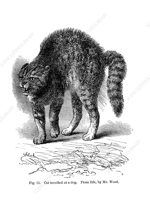 A cat terrified by a dog, 1872