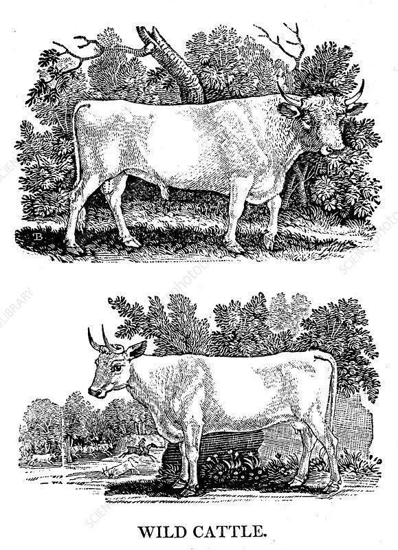 British Wild or Park Cattle, 1790