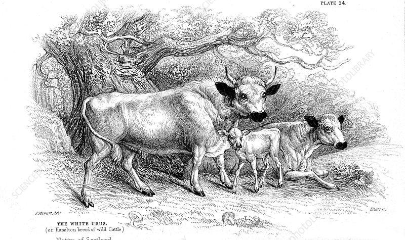British wild or park cattle