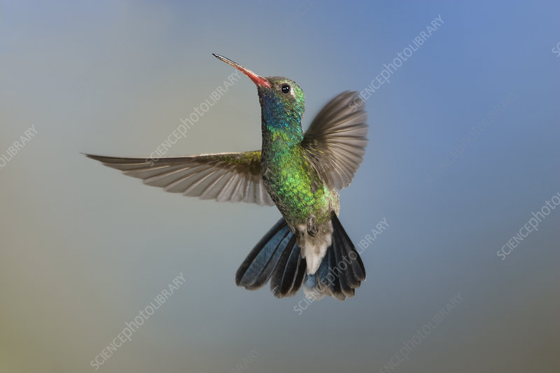 Broad-billed hummingbird in flight, high-speed photograph