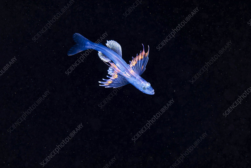 Larval stage of a fish