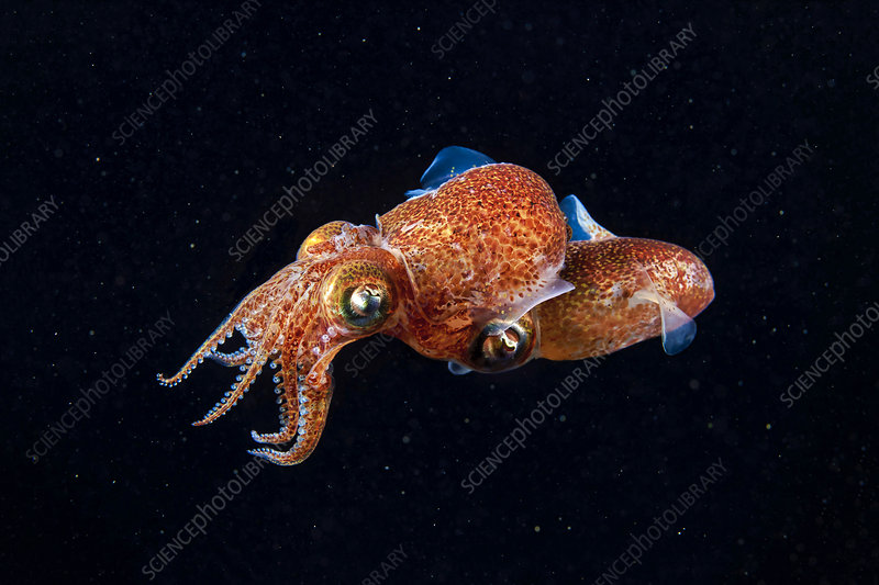 Atlantic bobtail squid mating