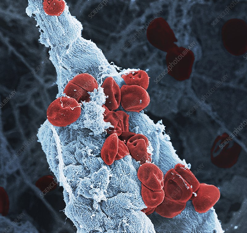 Blood vessel, SEM