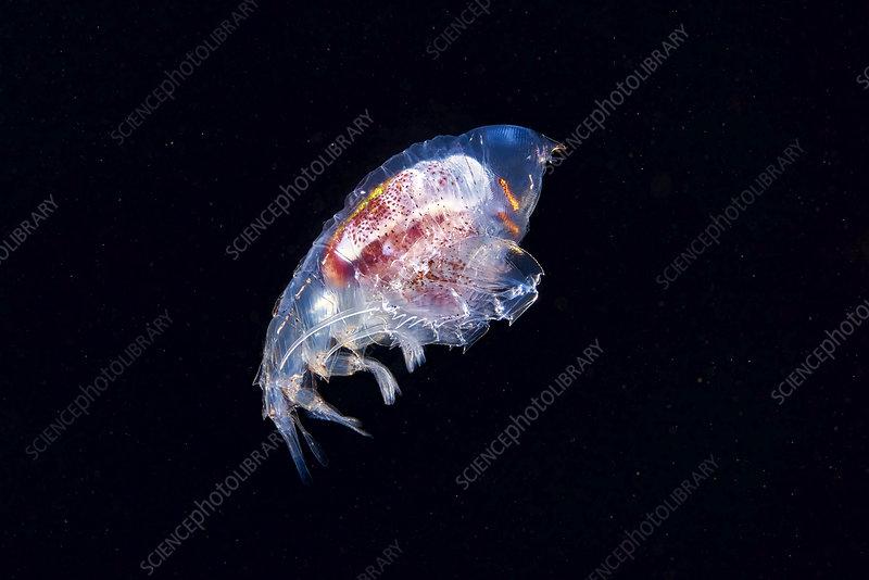 Phrosina amphipod crustacean