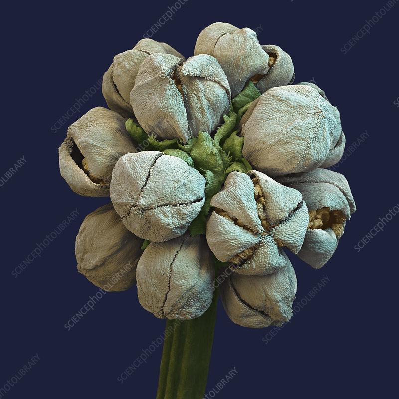 Acacia (Acacia sp.) flower, SEM