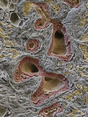 Normal salivary gland, SEM