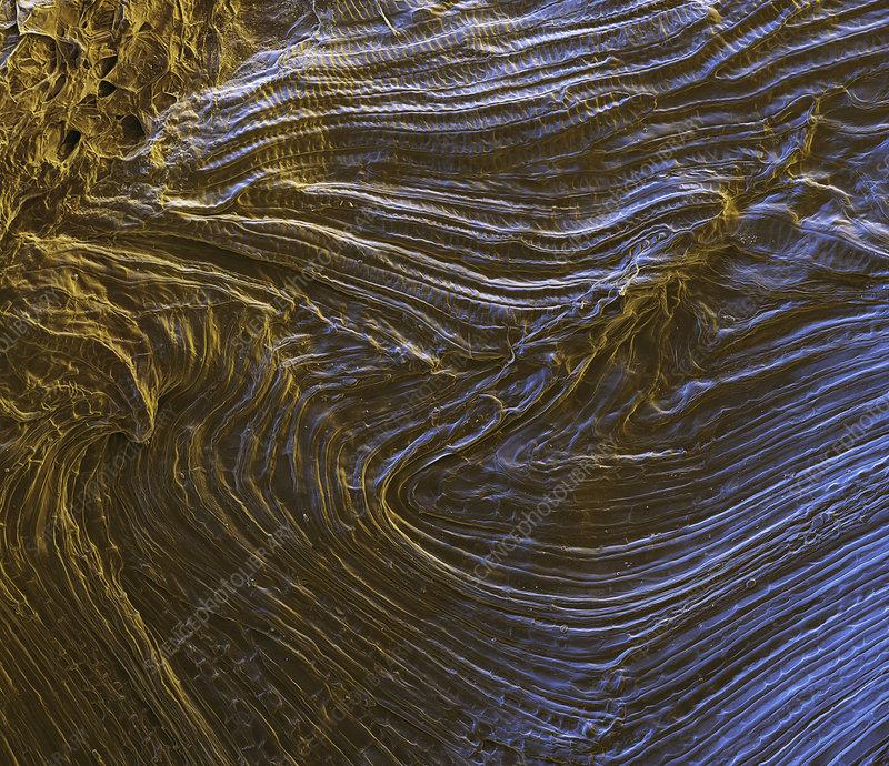 Wind-dispersed seed, SEM