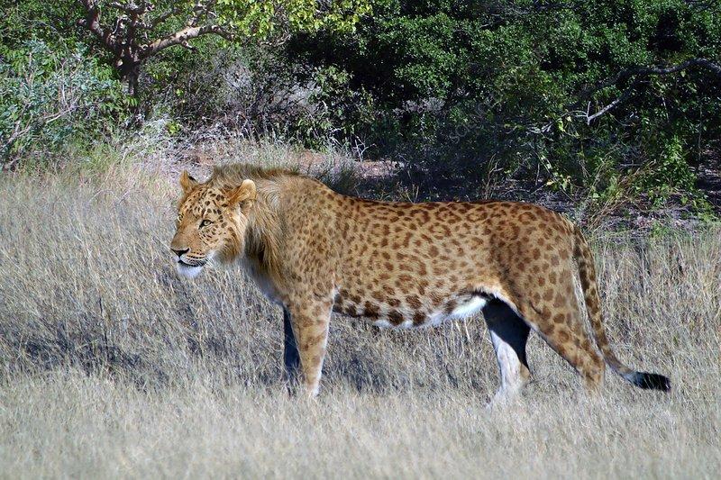 Spotted lion, illustration