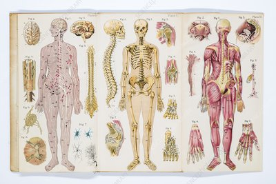 the anatomy and physiology of the female, illustration