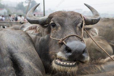 Asian water buffalo at Bac Ha market, Vietnam