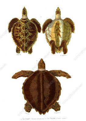 Hawksbill and loggerhead sea turtles, 19th century