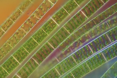 Algal strands, light micrograph