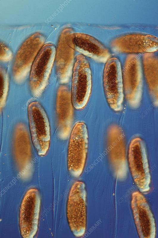 Fly eggs, light micrograph