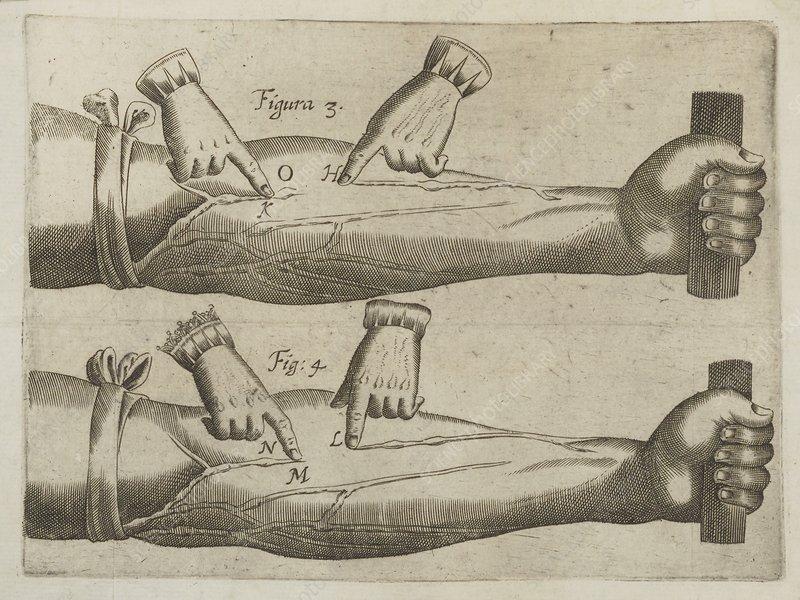 William Harvey's circulation experiment, illustration