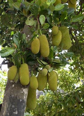 Jackfruit tree (Artocarpus heterophyllus)