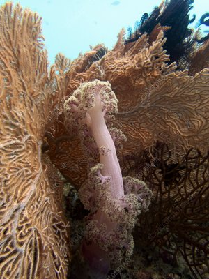 Soft coral and fan coral
