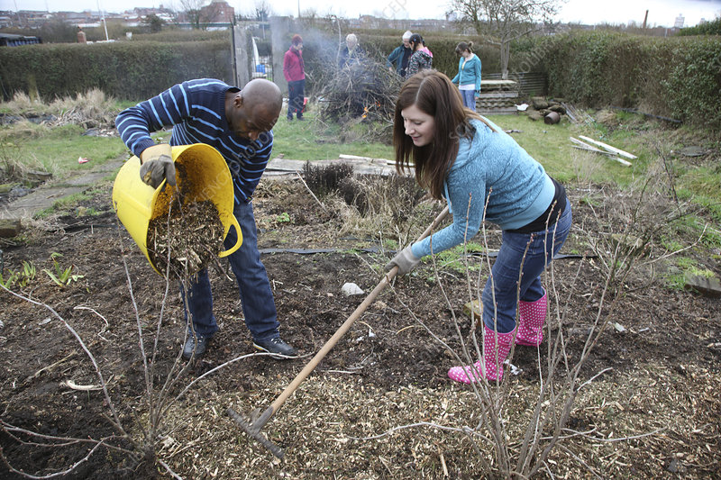 People mulching fruit bushes on an allotment