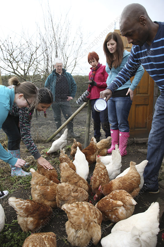 Feeding rescued battery chickens on an allotment