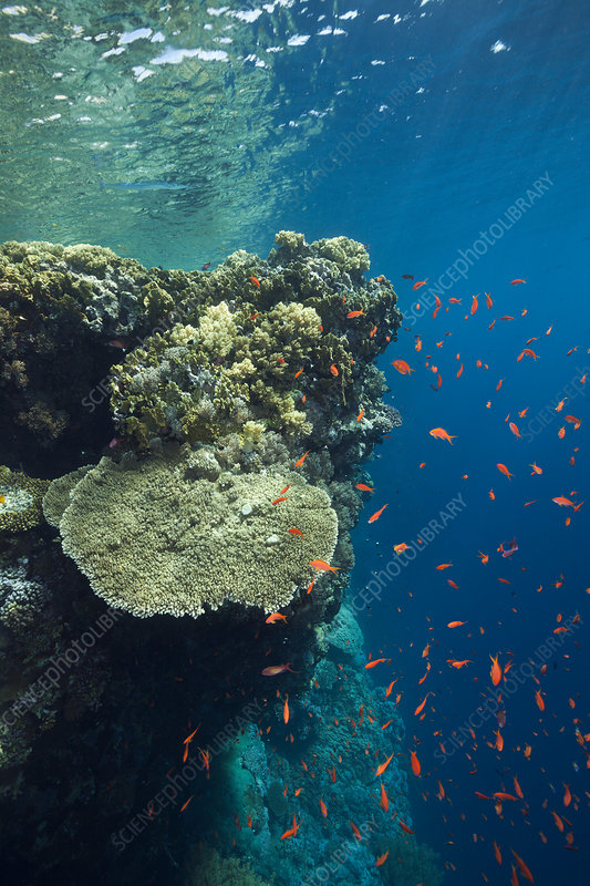 Hard corals on reef top