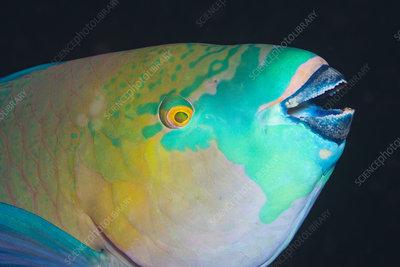 Rusty parrotfish