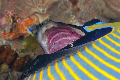 Cleaning shrimp in gills of emperor angelfish
