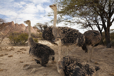 Group of South African ostrich