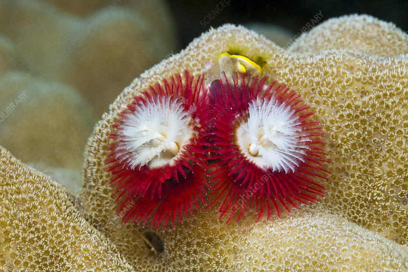 Red Christmas-tree-worm