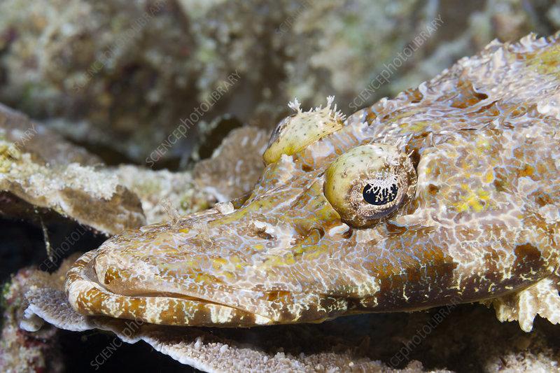 Beaufort's crocodilefish