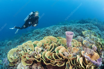 Reef of lettuce coral