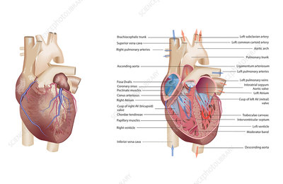Human heart anatomy, illustration