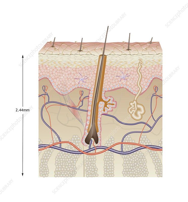 Human skin anatomy, illustration