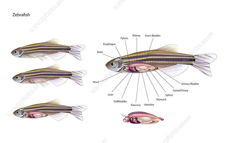 Zebrafish anatomy, illustration
