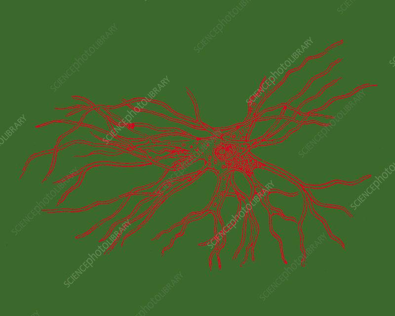 Brain cell, illustration