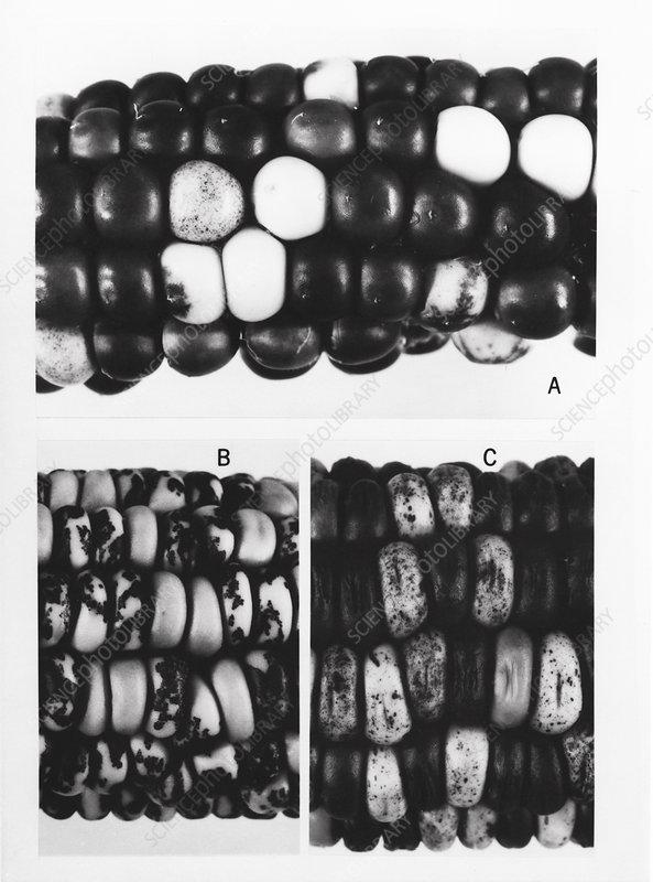 Maze genetics research by McClintock, 1971