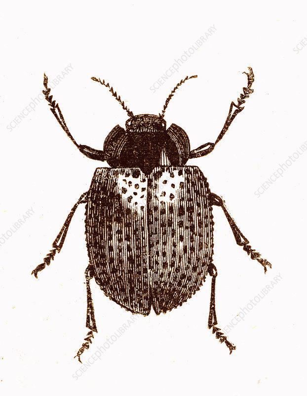 Beetle, 19th-century illustration