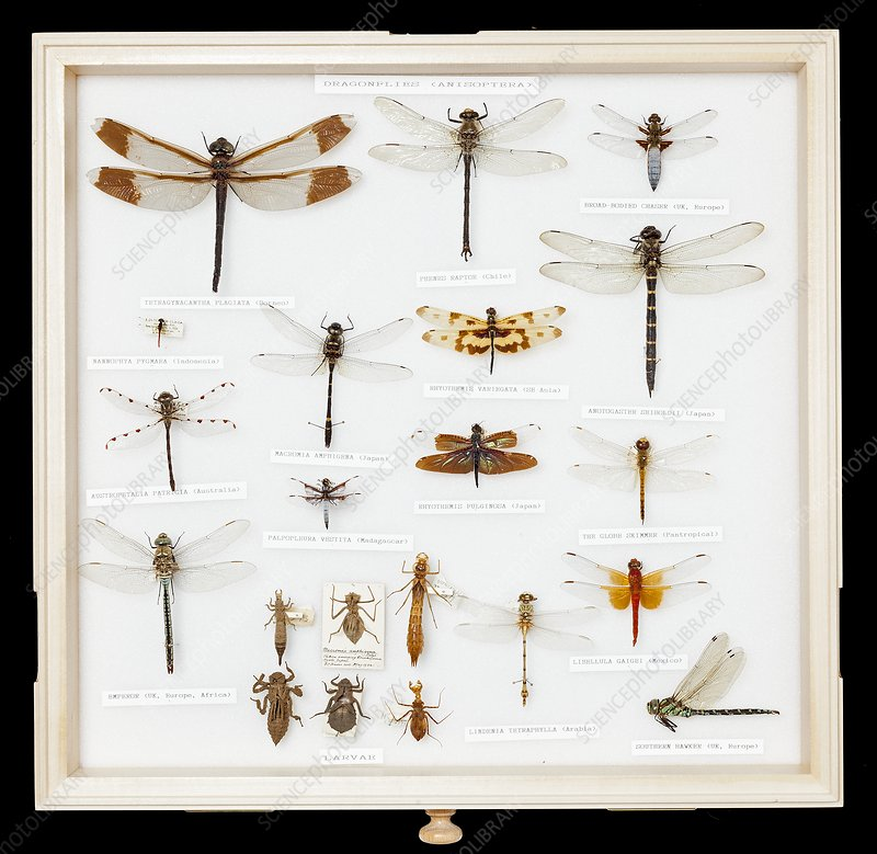 Mounted dragonfly specimens