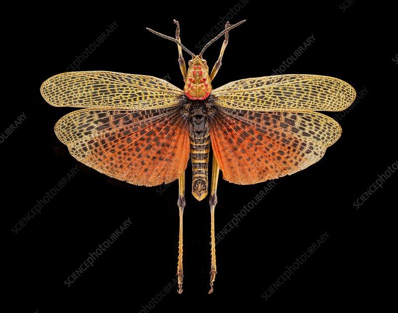 Phymateus locust