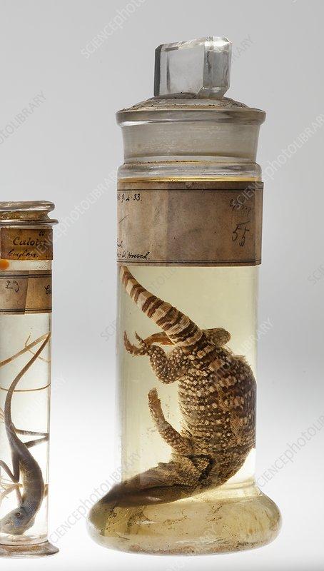 Preserved reptile specimens