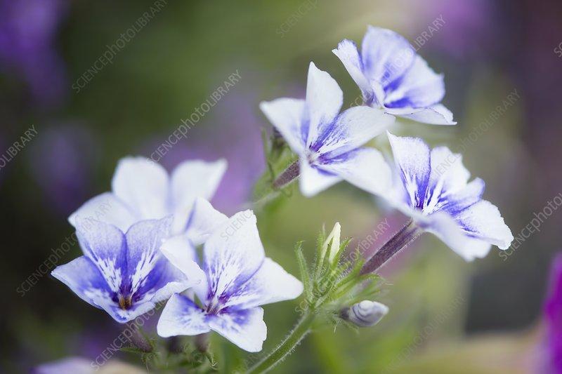 Annual phlox (Phlox drummondii) flowers