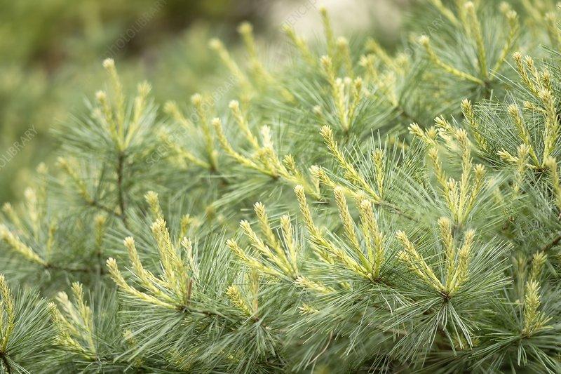 White Pine (Pinus strobus) needles