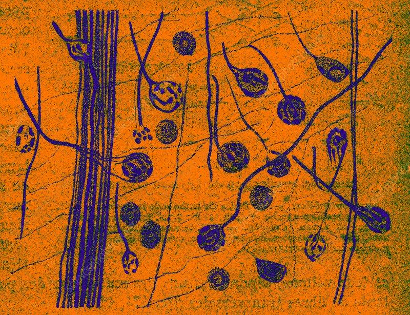 Brain nerve cells, historical illustration