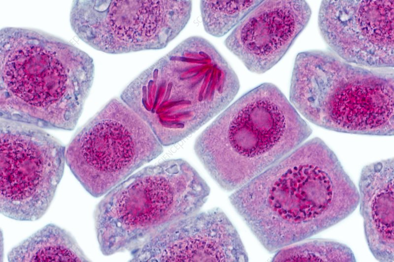 Mitosis in plant root, light micrograph