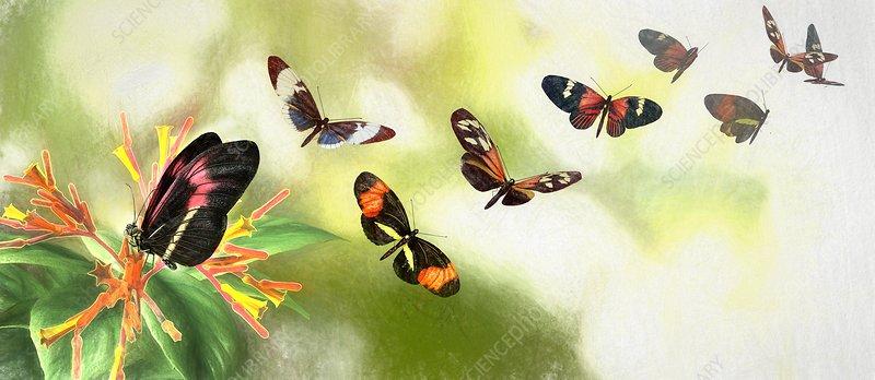Butterfly speciation, illustration