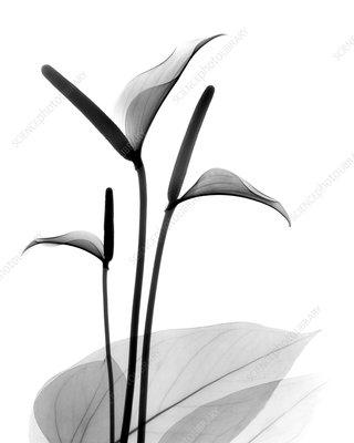 Flamingo (Anthurium sp.) flowers, X-ray