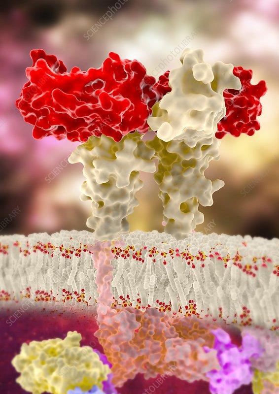GCSF hormone binding to membrane receptor, illustration