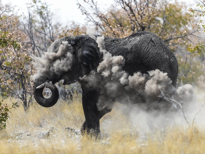 Elephant dust bathing
