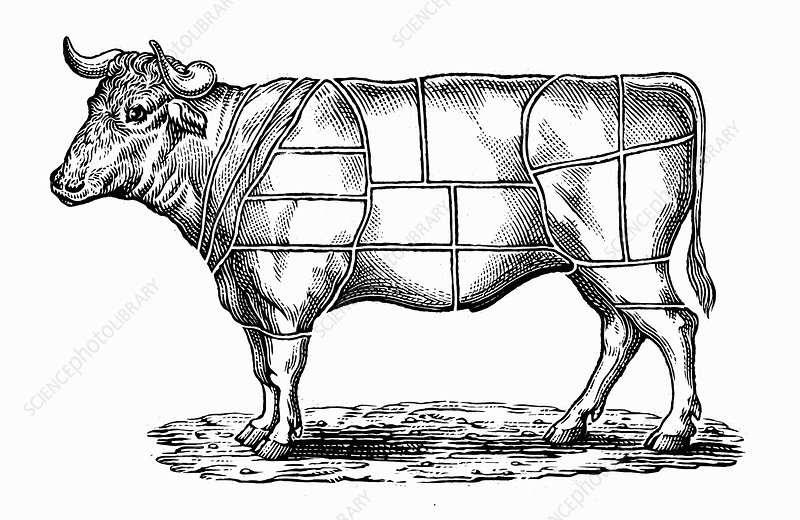 Engraving of cow divided into sections