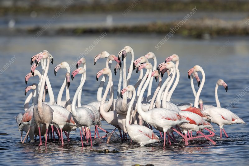 Flock of greater flamingoes foraging