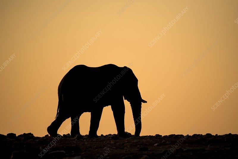 Elephant at sunset in Etosha, Namibia